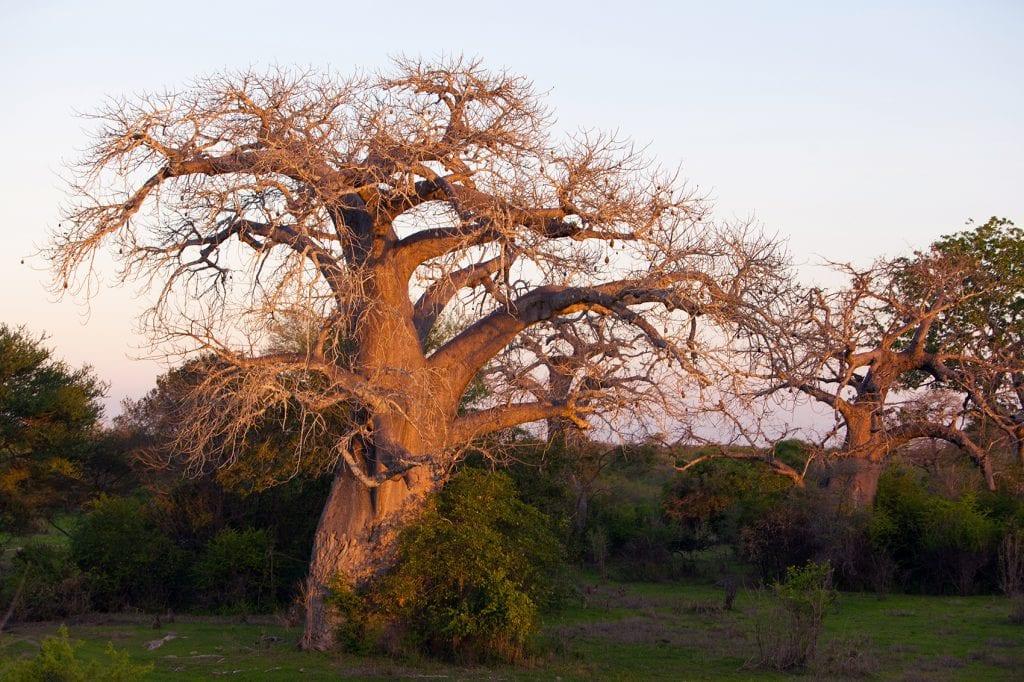 JB-DAR13-Baobab1-HR