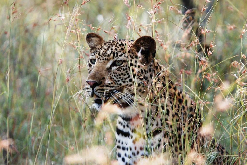 dar leopard